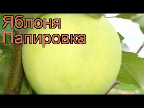 Яблоня обыкновенная Папировка (malus papirovka) 🌿 обзор: как сажать, саженцы яблони Папировка