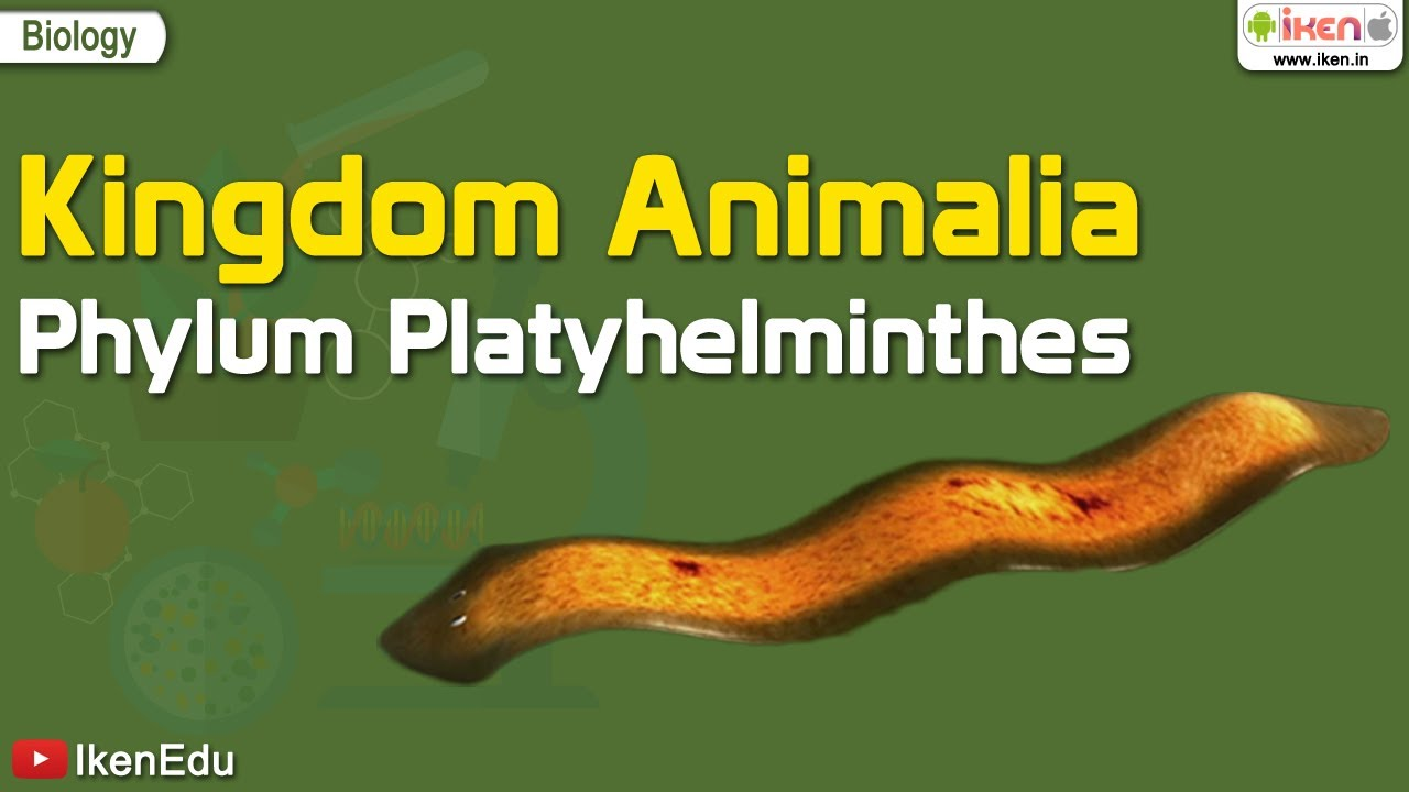 Image of: Animal Kingdom Kingdom Animalia Phylum Platyhelminthes Kuttabkucom Kingdom Animalia Phylum Platyhelminthes Youtube