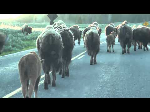 Early Morning Bison Jam - Yellowstone NP