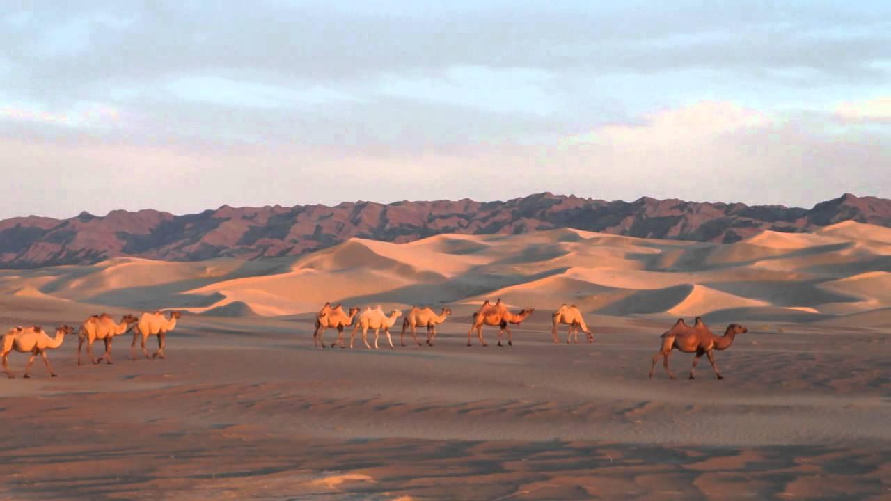 Wild camels in the Gobi Desert - YouTube
