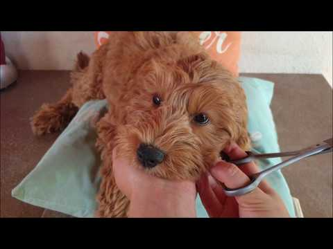 Australian Labradoodle puppy's leash & grooming training