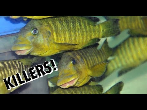 One Of The Most Aggressive, Meanest, Nastiest African Cichlids | The Infamous petrochromis aka petro