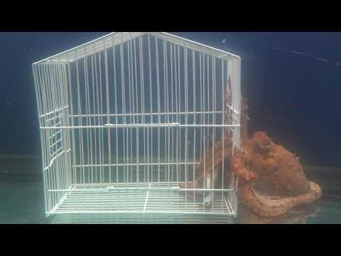 Octopus Kills And Eats Crab Through A Cage