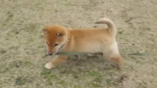 2016年大晦日に生まれた山陰柴犬の仔。公園を走りまくり。