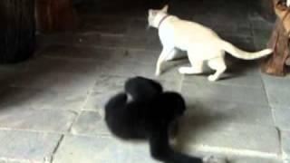 Gibbon VS Cat