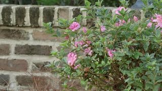 Planting Azaleas with the Grumpy Gardener | Southern Living