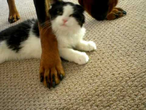 rottweiler and his friendly cat