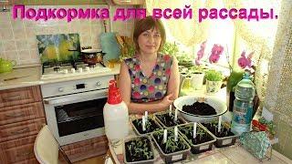 Моя рассада томатов и подкормка для них.