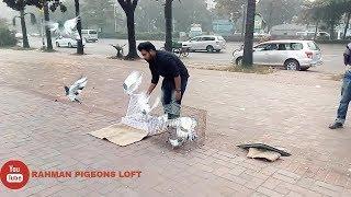 Pigeon tossing -8 pis (2018) Rahman pigeons loft