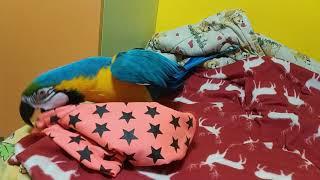 Попугай ара играет с шарфом