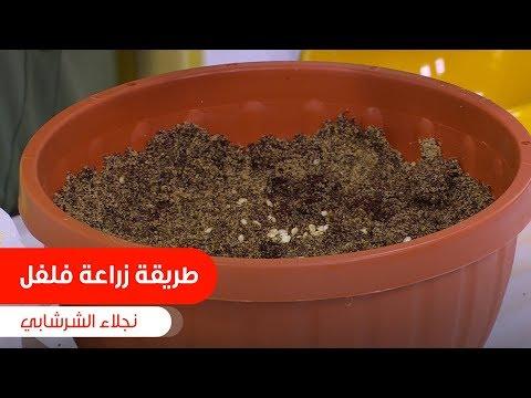 شوفوا طريقة نجلاء الشرشابي لزراعة الفلفل في البيت: نجلاء الشرشابي