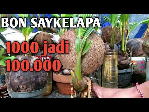 Bonsai Kelapa Jumbo Nungging Media Air Pindah Ke Pasir Youtube