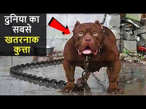 ❌दुनिया के 10 सबसे खतरनाक कुत्ते  | 10 MOST DANGEROUS DOGS IN THE WORLD