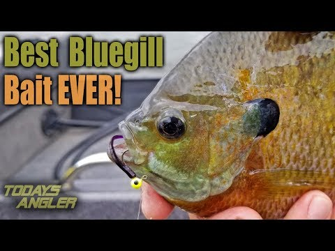 Best BIG Bluegill Bait Ever!! - How To - Todays Angler