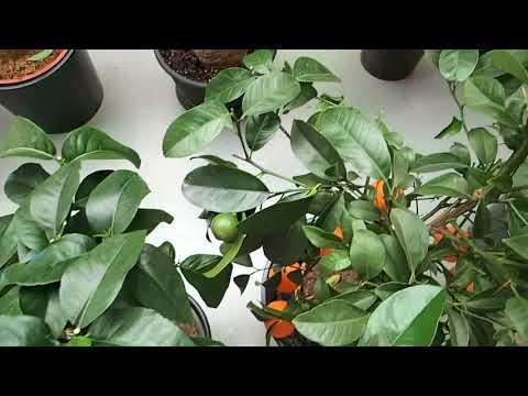 Citrus trees with fruits