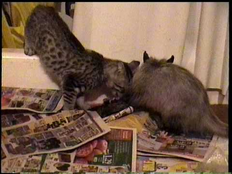 Opossum And Kitten Fight Over Road Killed Squirrel