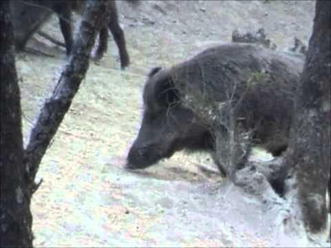 Lov na divlje svinje u Srbiji