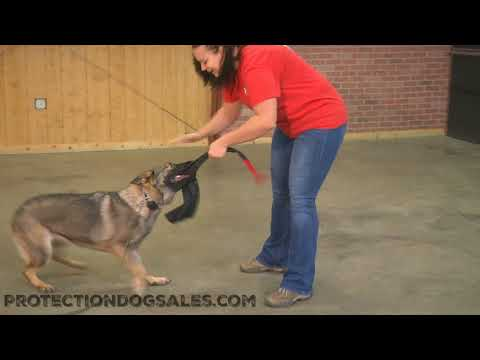 Nyra von Prufenpuden 11 Mo's German Shepherd Obedience Protection Trained For Sale