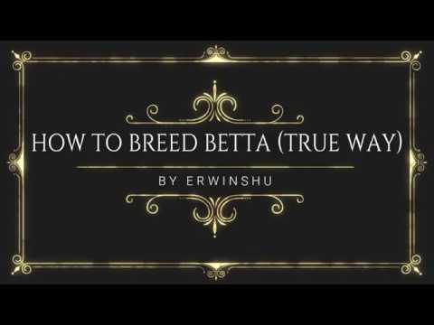 THE TRUE WAY OF BREEDING BETTA FISH BY ERWINSHU