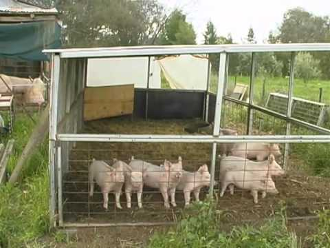 Organic Farming Organic Pigs How To Raise Youtube