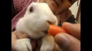 Beyaz Tavşan - Havucu görünce çıldırıyor.