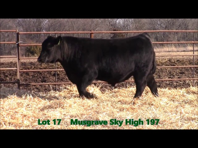 Musgrave Angus Lot 17
