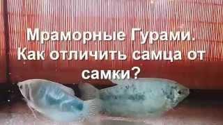 Мраморные гурами Как отличить самца от самки