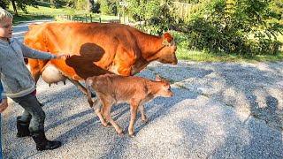 this-2-day-old-calf-following-its-mother-is-adorable