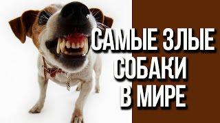 Самые злые и опасные собаки в мире / Интересные факты о собаках
