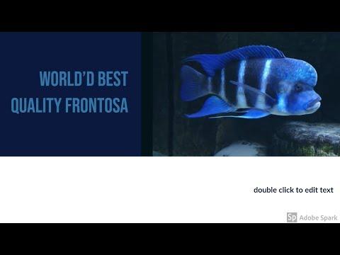 World's Best Quality Frontosa Cichlids