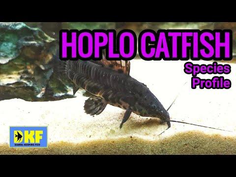 Hoplo Catfish - Species Profile.