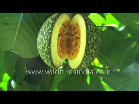Voacanga africana in Southern India -  used in Ghana as poison, stimulant, aphrodisiac