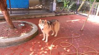 Siberian Husky In Cochin