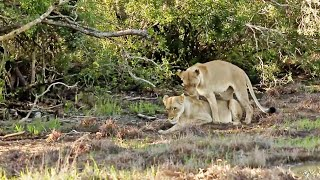 These Lionesses Have a Special Relationship