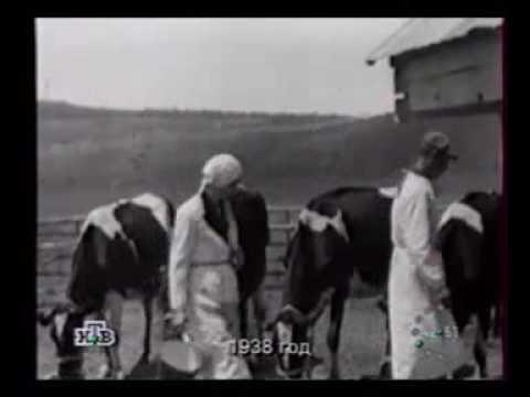 Коровы для сельскохозяйственной выставки, 1938 / Cows to the All-Union Agricultural Exhibition