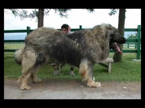 Caucasian Shepherd Fast Facts Youtube
