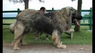 Caucasian Shepherd Fast Facts