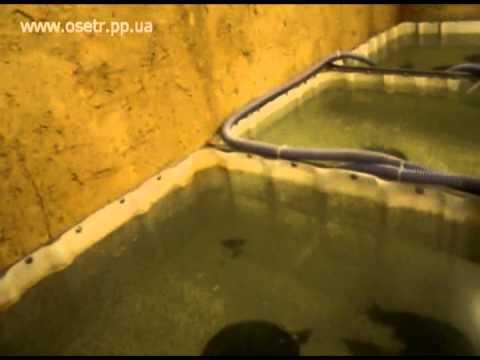 Сделано в Удмуртии: осетровая ферма в Можге - YouTube