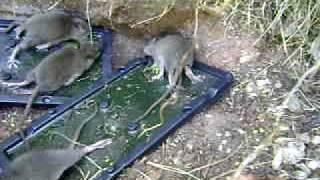 Cola Pega-Ratos