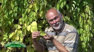 Лимонник, лечебное и очень декоративное растение, выращивание, ограничения в употреблении ягод, без