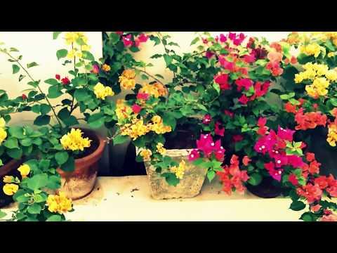 kerala Home garden | Bougainvillea