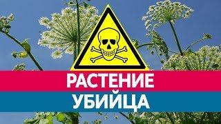 видео Растение борщевик - чем опасен борщевик для человека?
