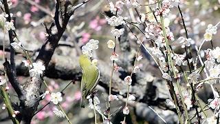 2月4日は立春。静岡県熱海市の熱海梅園では、梅の花が見ごろを迎え、...