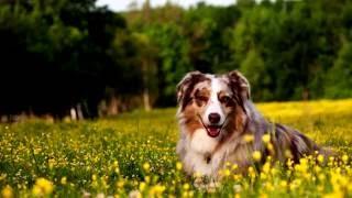 Порода собак. Австралийская  пастушья овчарка.Верный друг человека.