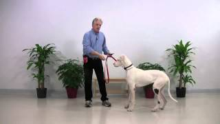 Dog Training - Deaf Dane 002 - Chapel Hill Nc