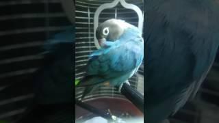 HELP! Попугай (неразлучник) чешется! Это перопухоеды завелись?