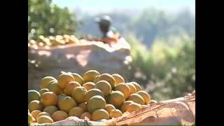 Uraí quer aumentar a produção de suco de laranja - 25-07-14