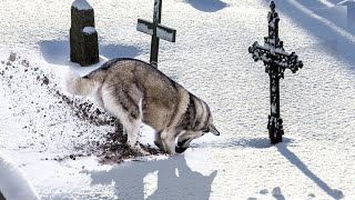 A wolf started to dig up a fresh grave while the family watched. It saved two lives