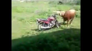 Прикол бык извращенец
