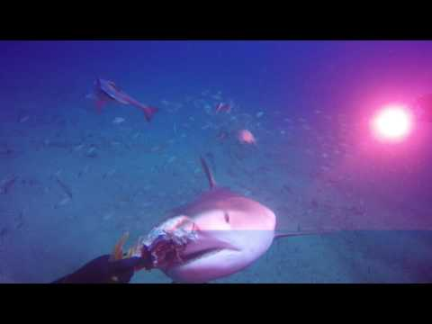 Tiger Shark Eats out of Diver's Hand
